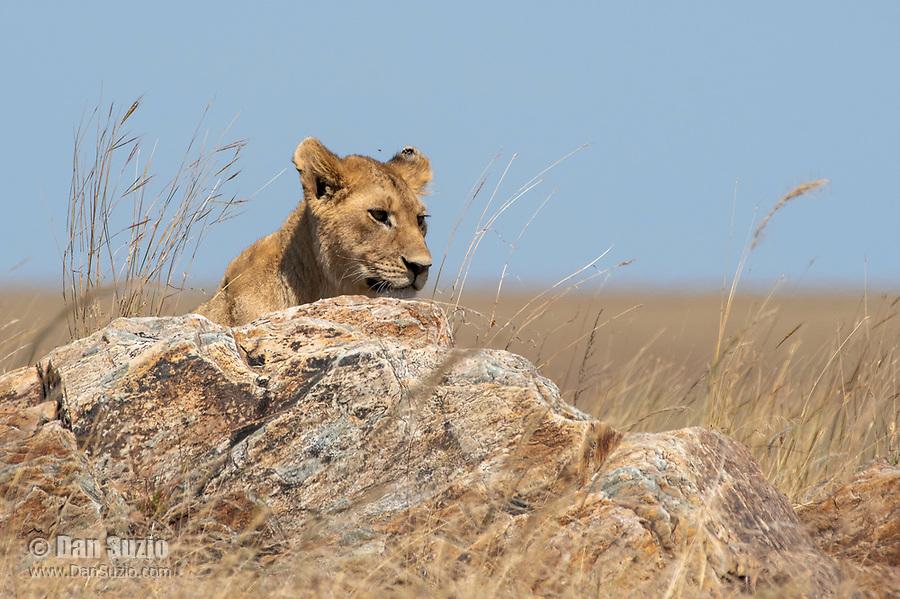 Lion cub, Panthera leo  melanochaita, in Serengeti National Park, Tanzania