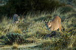 Mountain Lion (Puma concolor) male and female, Torres del Paine National Park, Patagonia, Chile