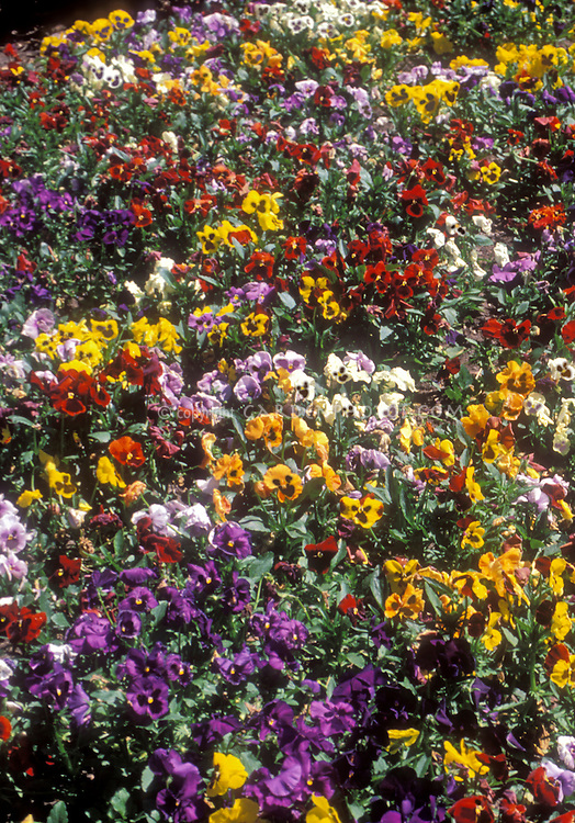 Viola Universal Mix pansies in spring flowers showing mixture of different colors, yellow, red, purple, orange, white, blotched, no blotch