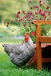 Farm Animals- Fowl