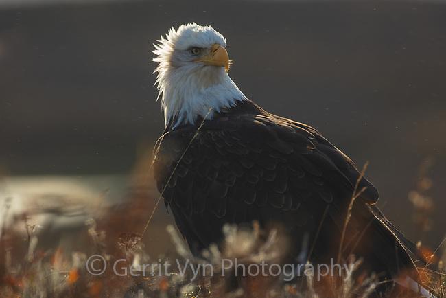 Bald Eagle at Izembek NWR, Alaska.