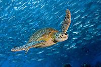 green sea turtle, Chelonia mydas, and schooling bigeye trevally, Caranx sexfasciatus, Mabul, Malaysia, Pacific Ocean
