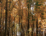 Yellow autumn leaves Sky Line Drive Forest Commonwealth of Virginia, Fine Art Photography by Ron Bennett, Fine Art, Fine Art photography, Art Photography, Copyright RonBennettPhotography.com ©