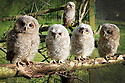 2012_05_15_hart_owlets_rescued