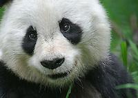 Smiling Panda #21 Portrait, Panda Valley Nature Preserve, Wolong, Sichuan, China