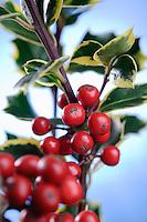 Ilex aquifolium 'Rubricaulis Aurea'