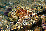 Santa Cruz Island, Channel Islands National Park and National Marine Sanctuary, California; a Two-spotted Octopus (Octopus bimaculatus) moves across the rocky reef , Copyright © Matthew Meier, matthewmeierphoto.com All Rights Reserved
