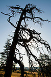 Silhouette of a Tree in the Columbia River Gorge