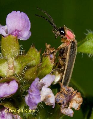 1C24-708z    Pyralis Firefly - Lightning Bug - Male - Photinus spp.