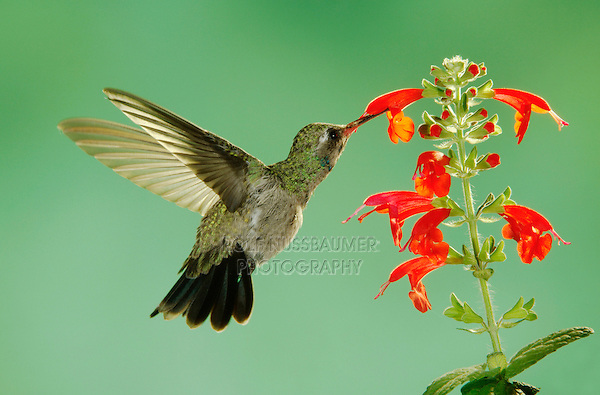 Broad-billed Hummingbird, Cynanthus latirostris, young male in flight feeding on sage, Madera Canyon, Arizona, USA, May 2005