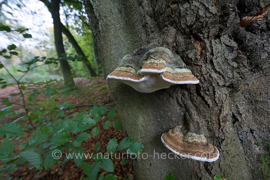 Echter Zunderschwamm, Zunderschwamm, Baumpilz, Fomes fomentarius, Tinder Fungus, Hoof Fungus, Tinder Conk, Tinder Polypore, Ice Man Fungus, false tinder fungus, l'Amadouvier