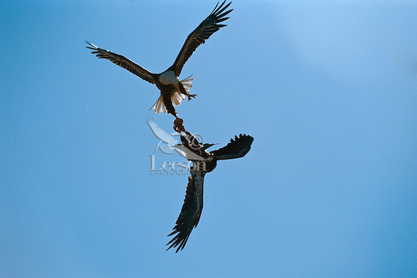 Bald Eagles--adult (top) trying to steal piece of fish from juvenile.