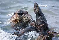 Close up of a sea otter (Enhydra lutris nereis) who is grooming, Moss Landing in the Monterey Bay National Marine Sanctuary.