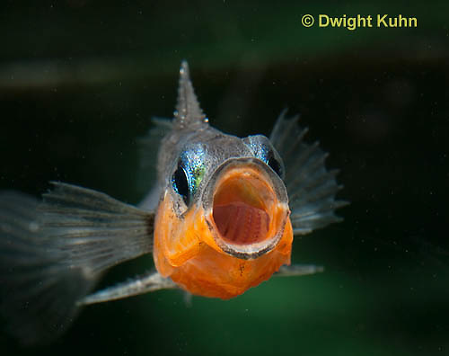 1S13-505z  Male Threespine Stickleback yawning behavior, Mating colors showing bright red belly and blue eyes,  Gasterosteus aculeatus,  Hotel Lake British Columbia