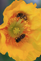 Two bees get their load of pollen form a poppy flower in a family garden. Poppy does not contain any nectar but bees like the flower for its abundant pollen.