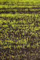 19.11.2020 Winter wheat plants<br /> ©Tim Scrivener Photographer 07850 303986<br />      ....Covering Agriculture In The UK....