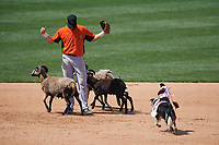 Third baseman Stevie Wilkerson gets overtaken by sheep as the Cowboy Monkey Rodeo performs during a Wilmington Blue Rocks doubleheader against the Frederick Keys on May 14, 2017 at Daniel S. Frawley Stadium in Wilmington, Delaware.  Wilmington defeated Frederick 10-2.  (Mike Janes/Four Seam Images)