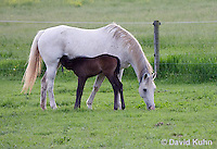 0509-0905  Grey Dutch Warmblood Horse, Mare with Nursing Foal, Equus ferus caballus  © David Kuhn/Dwight Kuhn Photography