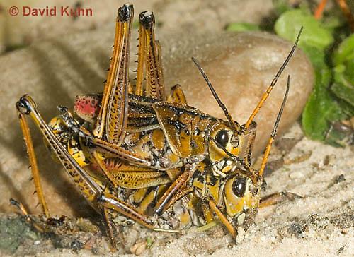 0404-0837  Pair of Mating Eastern Lubber Grasshoppers - Romalea guttata © David Kuhn/Dwight Kuhn Photography
