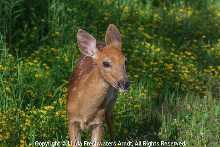 White-tailed fawn in a northern Wisconsin field of birdsfoot trefoil.