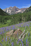 The Maroon Bells Peaks with Lupine wildflowers in summer, Aspen, Colorado .  John offers private wildflower tours in the Crested Butte area and throughout Colorado. Year-round.