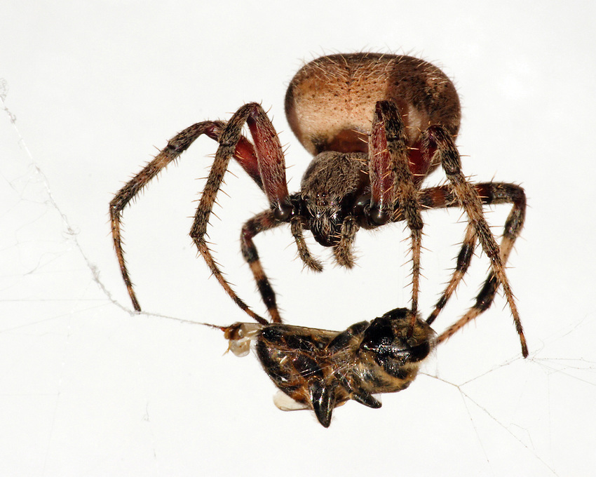 Eriophora Ravilla lives along the Gulf Coast states, with a large presence in Florida and the Lower Rio Grande Valley of Texas.