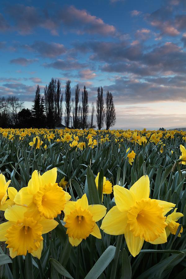 Daffodils blooming on a Skagit Valley farm, Skagit County, Washington, USA