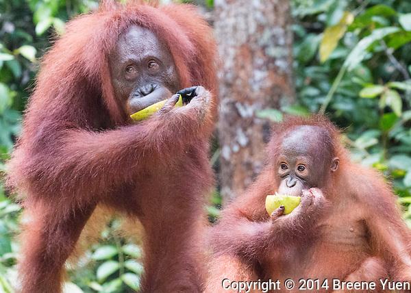 Borneo Orangutan Mom and Baby Eating