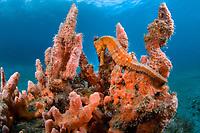 longsnout seahorse or slender seahorse, Hippocampus reidi, being camouflaged among sponge, Blue Heron Bridge in Singer Island, Florida, USA, Atlantic Ocean