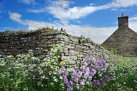 SC - Prov. CAITHNESS<br /> Fieldstone walls and old cottage enwreathed by wild flowers near Castle of Mey, John O'Groats<br /> <br /> Full size: 69,3 MB