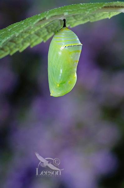 MONARCH BUTTERFLY life cycle..Chrysalis on Joe-Pye Weed leaf. .North America. (Danaus plexippus).
