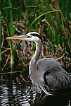 Great blue heron, Everglades National Park, Florida.