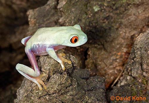 0306-0918  Red-eyed Tree Froglet (Young Frog), Agalychnis callidryas  © David Kuhn/Dwight Kuhn Photography.