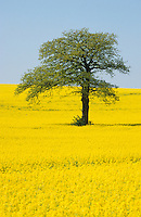 Deutschland, Eiche und Feld mit Raps in Schleswig Holstein, Raps wird zu Biokraftstoffen verarbeitet / GERMANY, field with rape seed and oak tree, rape seed oil is used for biofuel