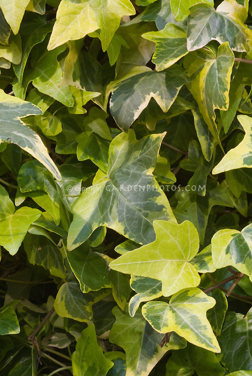 Ivy leaves Hedera helix 'Ceridwen'