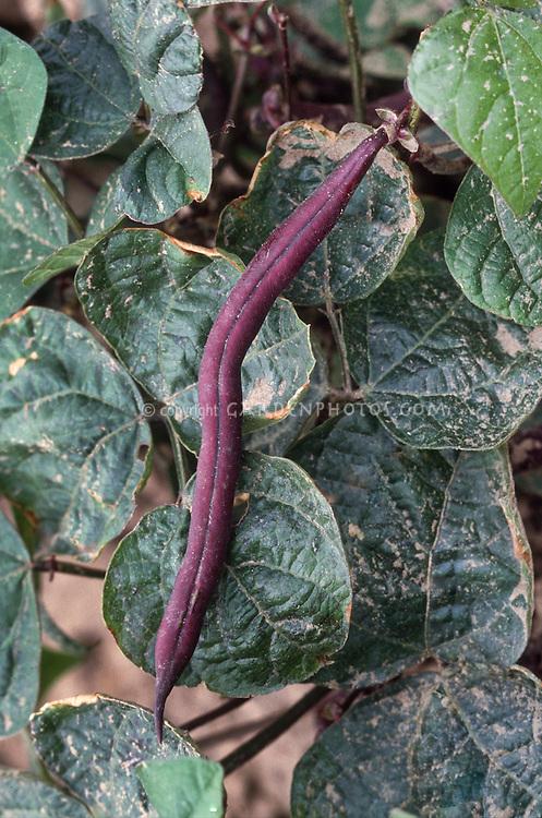 Bush Bean 'Royalty Purple Pod' heirloom vegetable variety