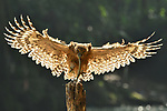 """Pictured:  The buffy fish owl with the snake.<br /> <br /> A snake hanging from an owl's beak makes it look as though the bird has an unbelievably long tongue.  Photos, taken by Ajar Setiadi, show the buffy fish owl sat on the stump of a tree with a morning snack in its beak alongside the Cisadane river, in Indonesia.<br /> <br /> The 53 year old from Bogor City, Indonesia, said: """"Every morning the bird comes to this exact location to feed.  SEE OUR COPY FOR DETAILS.<br /> <br /> Please byline: Ajar Setiadi/Solent News<br /> <br /> © Ajar Setiadi/Solent News & Photo Agency<br /> UK +44 (0) 2380 458800"""