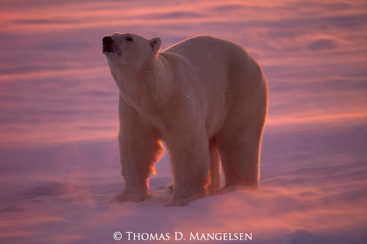 A solitary polar bear stands in the blowing snow as the setting sun colors its world pink at Hudson Bay, Manitoba, Canada.