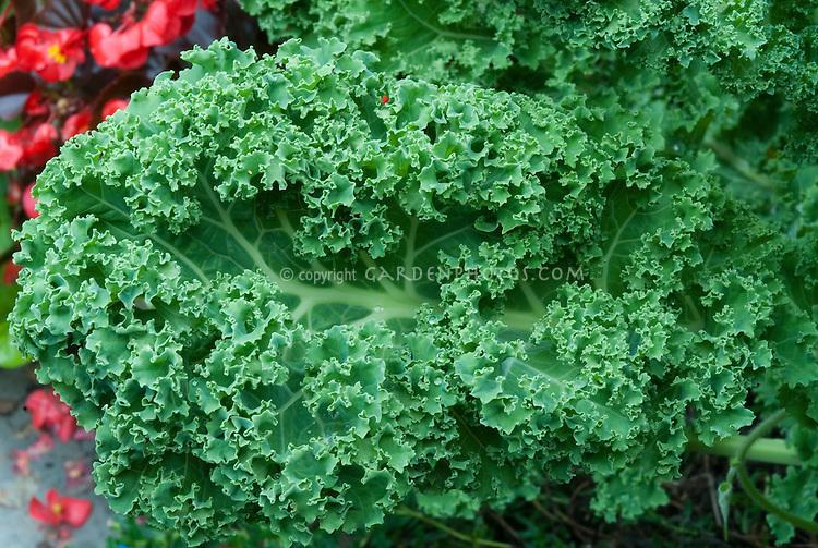 Kale vegetable Winterbor aka Cavalo Nero kale