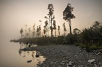 Morning fog at Lake Wahapo with native kahikatea trees, Westland Tai Poutini National Park, West Coast, South Westland, UNESCO World Heritage Area, New Zealand, NZ