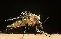 MQ01-001x  Mosquito - adult female biting a human - Aedes stimulans or Ochlerotatus stimulans.