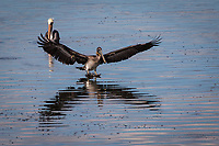 A Brown pelican meets its reflection landing on the rippled waters of San Leandro Bay at the Martin Luther King Jr.  Regional Shoreline in Oakland, California.