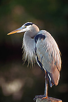 Great Blue Heron at Colier-Seminole State Park on the edge of  the Everglades, Florida