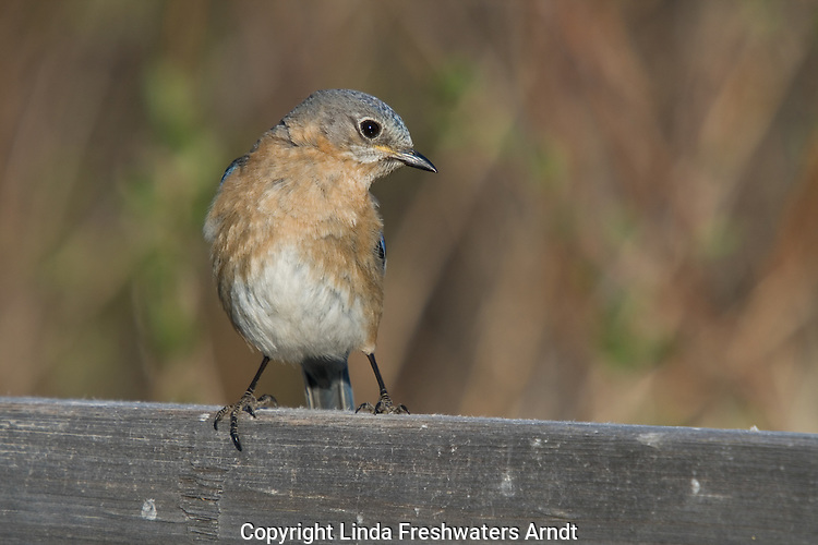 Femle eastern bluebird turning to look at something