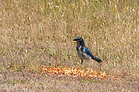 Western Scrub Jay, Aphelocoma californica, near Bodega Bay, California