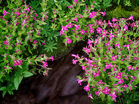 Close up of Small stream and Monkey Flowers. Bird Creek meadows. Mt. Adams Wildernesss, Washington