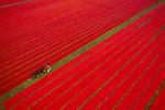 A farmer leads his cow through a field of red - fabric by Azim Khan Ronnie