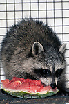 8 week old raccoon munching on a piece of watermelon while under the care of the New England Wildlife Center in Barnstable, Massachusetts, vertical.