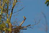 Fazenda Bauplatz, Brazil. Campo flicker woodpecker (pica-pau do  campo) (Colaptes campestris) female.
