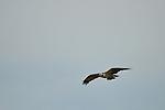 Osprey with Fish 1, Upper Newport Bay, CA.